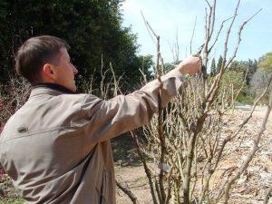 Гибискус: посадка и уход в открытом грунте