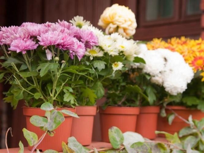 Хризантема: как ухаживать в домашних условиях?