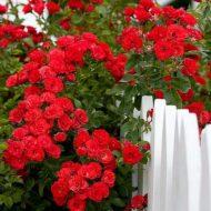 Роза плетистая: посадка и уход в открытом грунте, фото