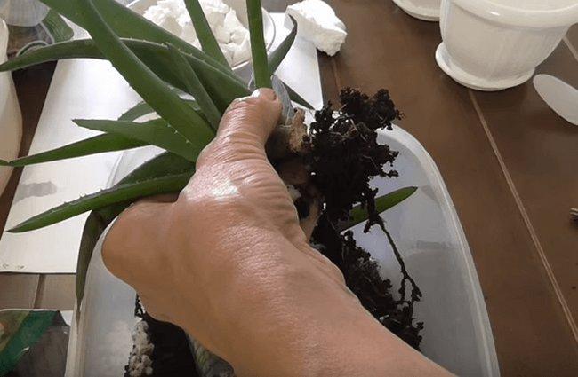 Как посадить алоэ в домашних условиях
