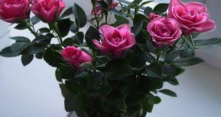 Как ухаживать за комнатной розой в горшке