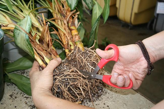 Каллы уход выращивание хранение
