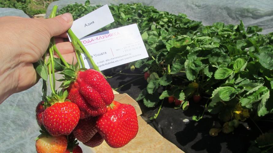Выращивание клубники из семян своими руками 32