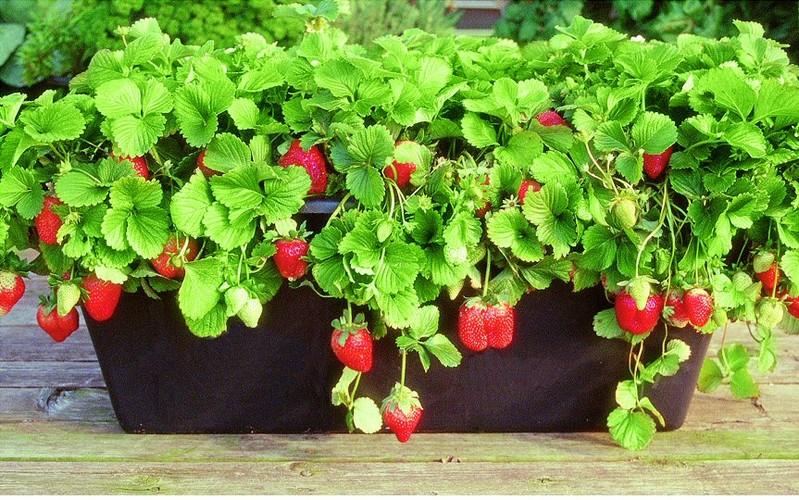 Когда сажать клубнику семенами на рассаду?