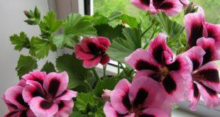 Пеларгония королевская: уход в домашних условиях фото