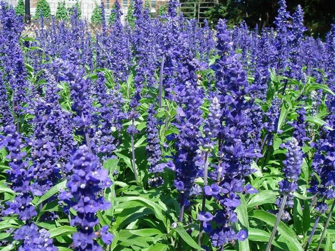 Сальвия многолетняя фото цветов
