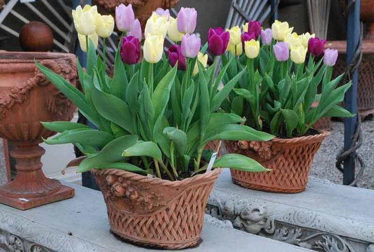 Как вырастить тюльпаны к Новому Году?