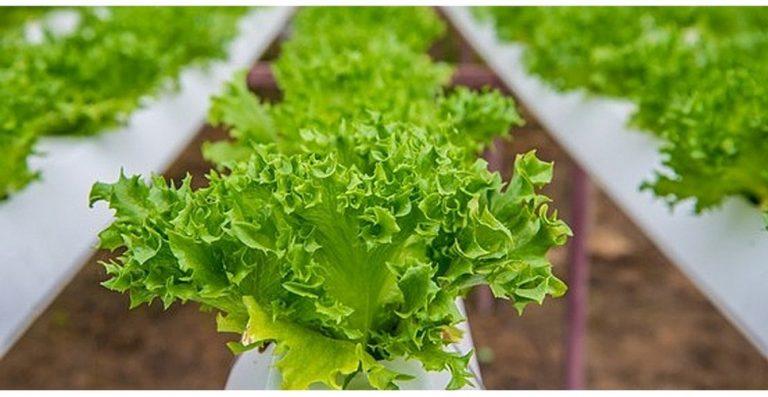 Выращивание салата в сентябре 41