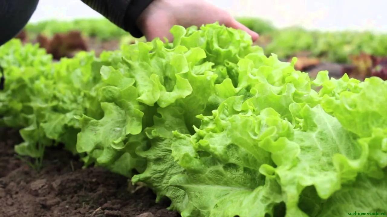 Все о выращивании салата 45