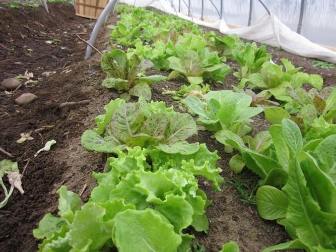 Выращивание салата в сентябре 49