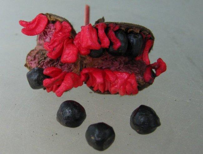 Древовидный пион сорта с фото