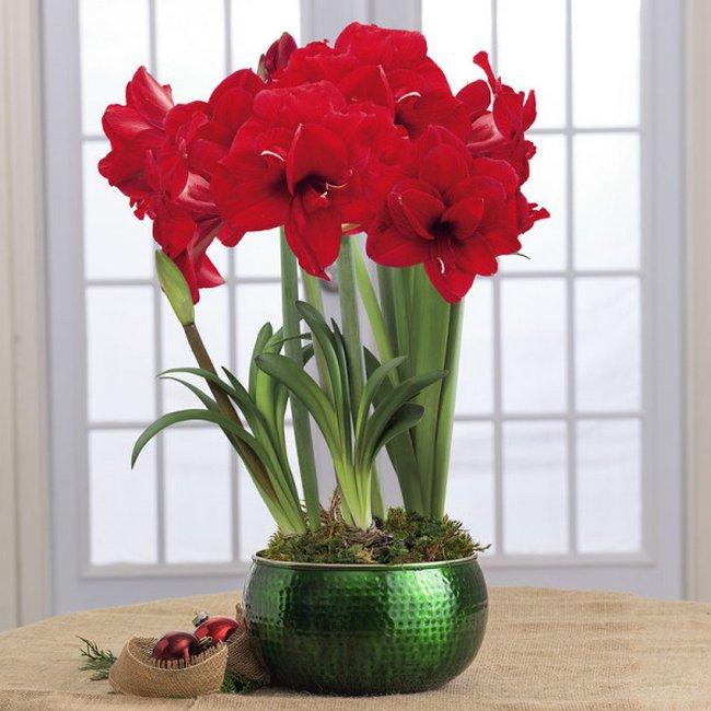 Как выглядит растение гиппеаструм