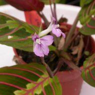 Маранта трехцветная молитвенное растение фото