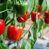 Рассада перца и помидор в домашних условиях видео