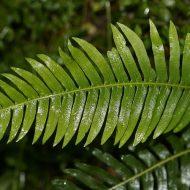 Адиантум: травянистые растения для открытого грунта
