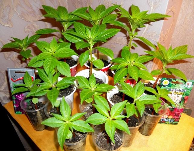 Посев семян бальзамина на рассаду