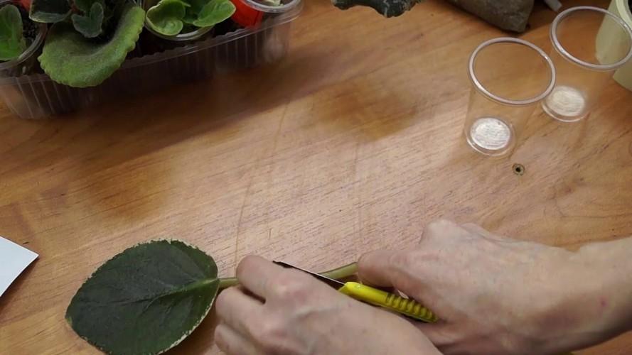 Размножение фиалок листом в домашних условиях пошагово