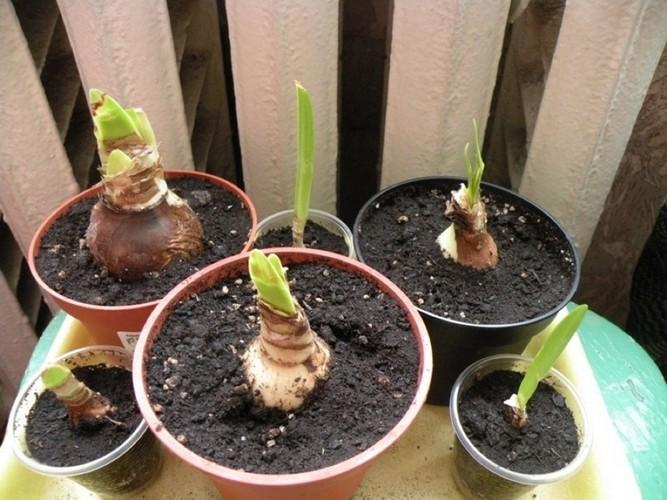 Гиппеаструм выращивание из семян домашних условиях 28
