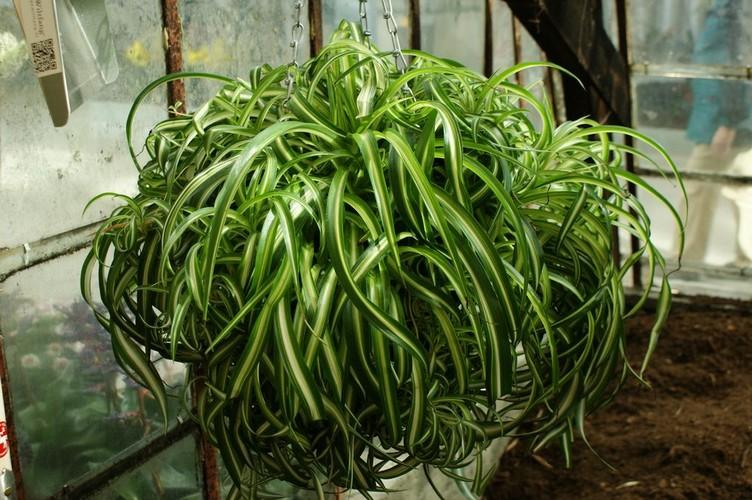 Почему у хлорофитума желтеют листья?