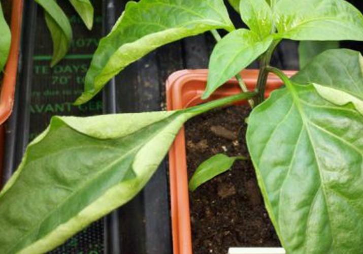 Рассада перца: болезни листьев