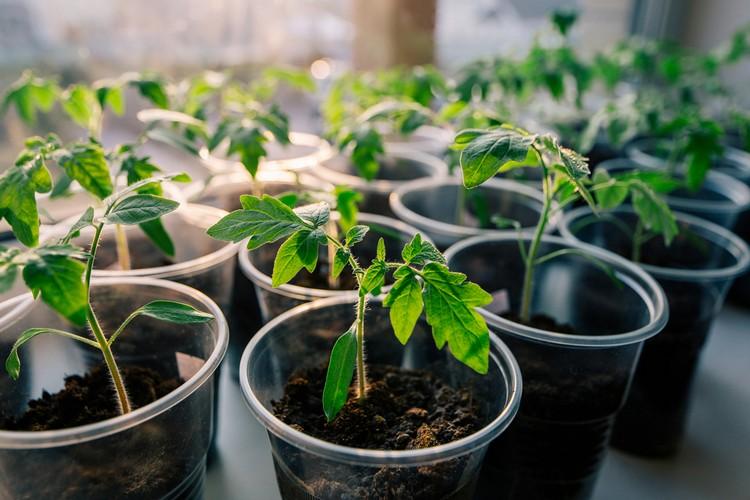 Вырастить рассаду помидоров из семян