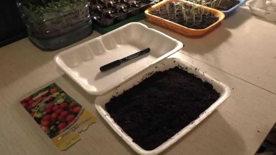 Подготовка семян помидор для рассады в домашних условиях 60