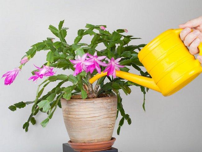 Дрожжи как удобрение для комнатных цветов