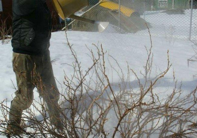 Обработка кустарников весной от вредителей кипятком