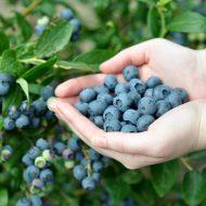 Голубика садовая: посадка и уход фото отзывы