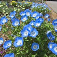 Немофила: фото цветов