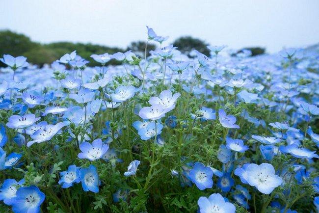 Немофила фото цветов