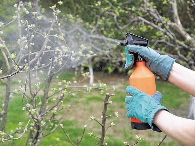 Обработка плодовых деревьев и кустарников весной мочевиной
