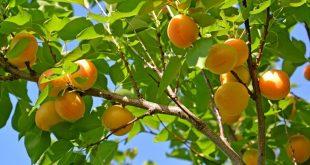 Обрезка деревьев весной видео для начинающих абрикосы