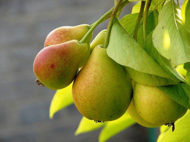 Обрезка деревьев весной видео для начинающих груши