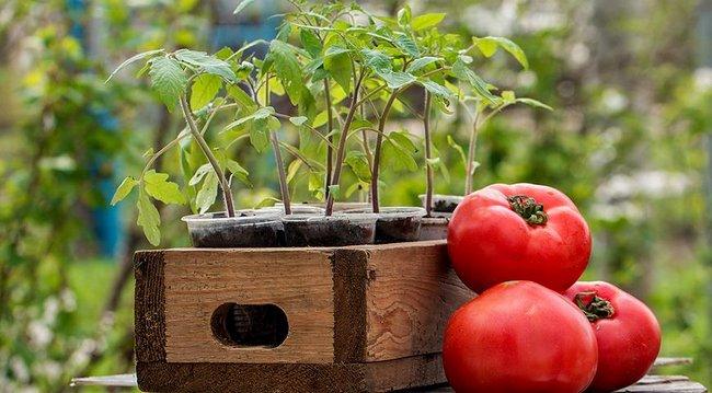 Посадка томатов на рассаду видео