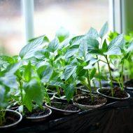 Удобрение «Крепыш» для рассады: инструкция по применению