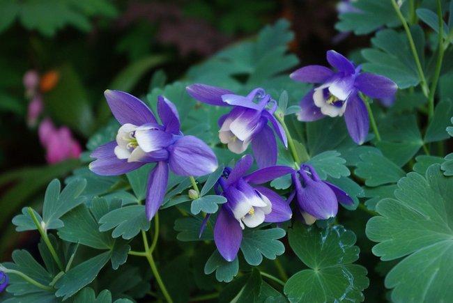 Как называются цветы похожие на колокольчики