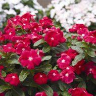 Цветы катарантус: выращивание из семян