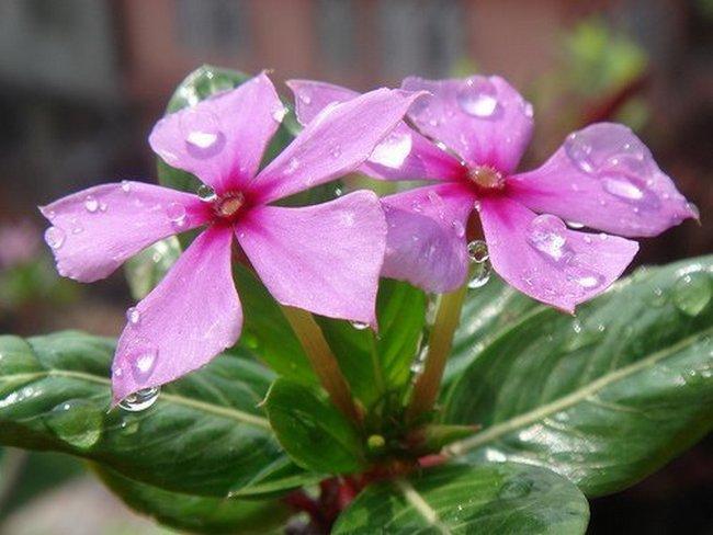 Цветы катарантус выращивание из семян