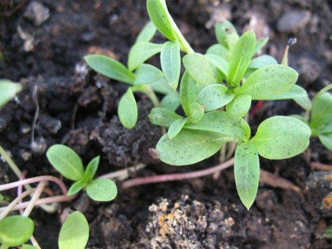 Флоксы из семян посадка и уход