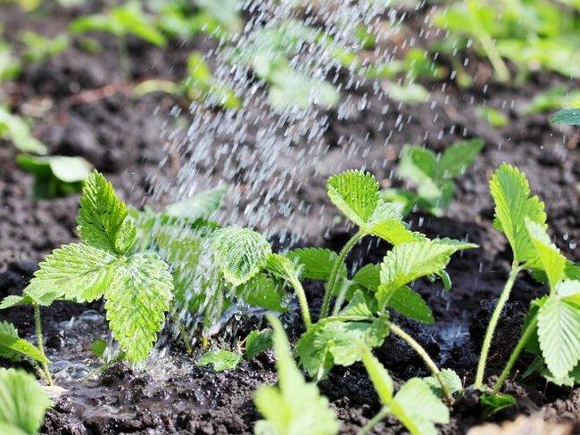 Когда пикировать землянику выращенную из семян