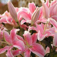 Лилия цветок уход и посадка