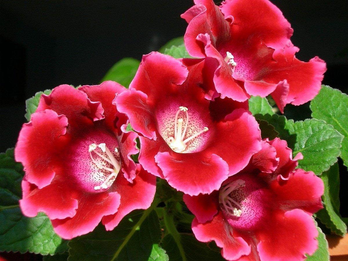 Выращивание глоксинии из семян в домашних условиях