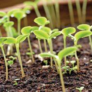 Закаливание семян перед посадкой рассады