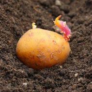Чем обработать картофель перед проращиванием на посадку