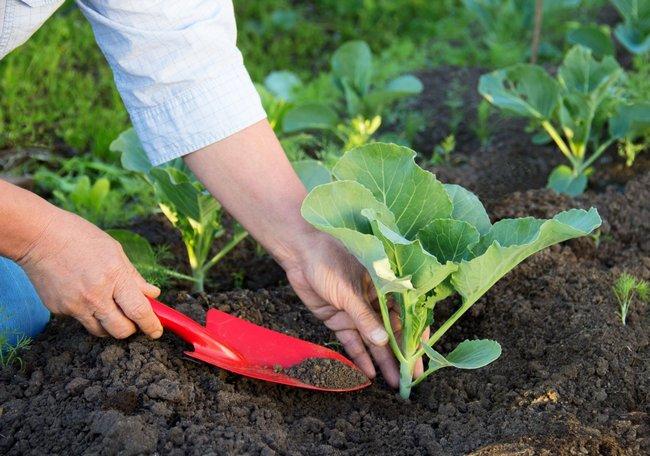 Когда садить капусту на рассаду на Урале