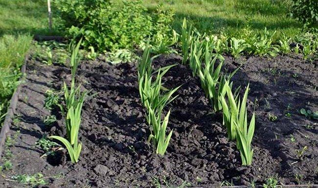 Когда сажать гладиолусы весной в каком месяце