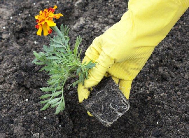 Когда сеять семена бархатцев