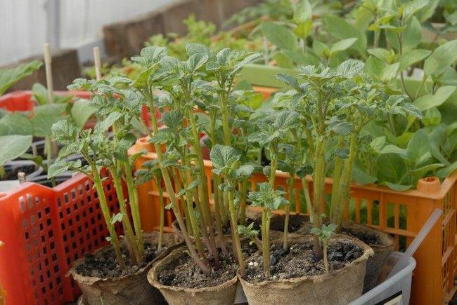 Посадка картофеля семенами на рассаду