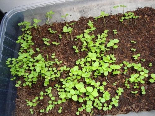 Агератум посадка и уход фото когда сеять семена